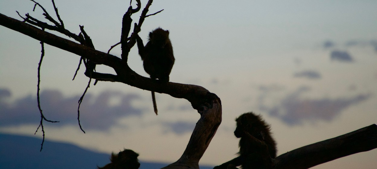 Baboons at Dusk