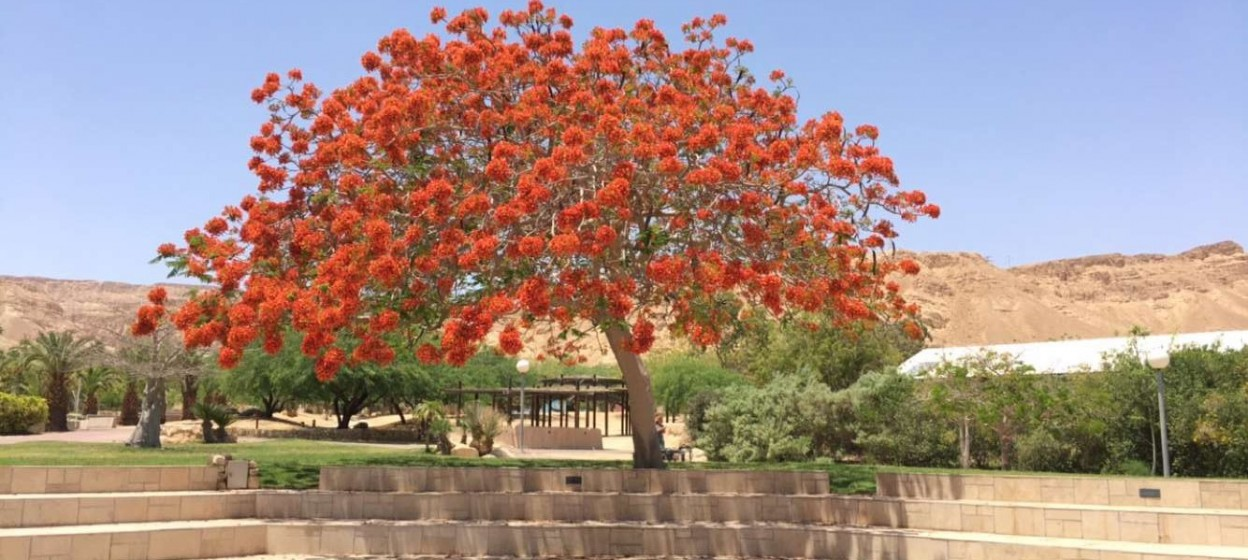 Flowering Tree in Jerusalem