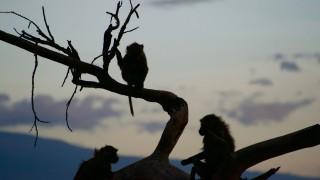 Baboons at Dusk